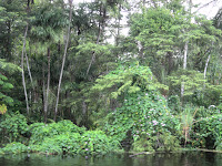 morning glory, Amazon basin, Peru