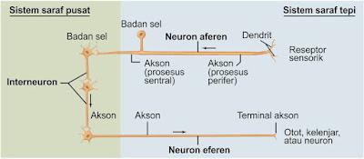 Tiga kelompok neuron. Tanda panah menunjukkan arah transmisi aktivitas saraf. Neuron aferen dimana SST umumnya menerima input pada reseptor sensorik. Komponen eferen dari SST dapat berakhir pada otot, kelenjar, neuron, atau sel efektor lainnya. Keduanya komponen aferen dan eferen dapat terdiri dari dua neuron, tidak satu seperti yang ditunjukkan di sini.