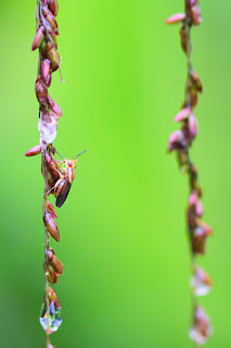 grass seed insect