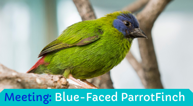 Meeting: Blue Faced ParrotFinch