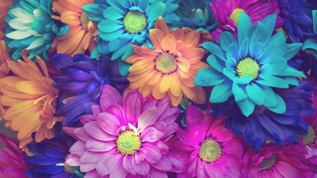 colorful chrysanthemum flowers HD flowers Wallpaper