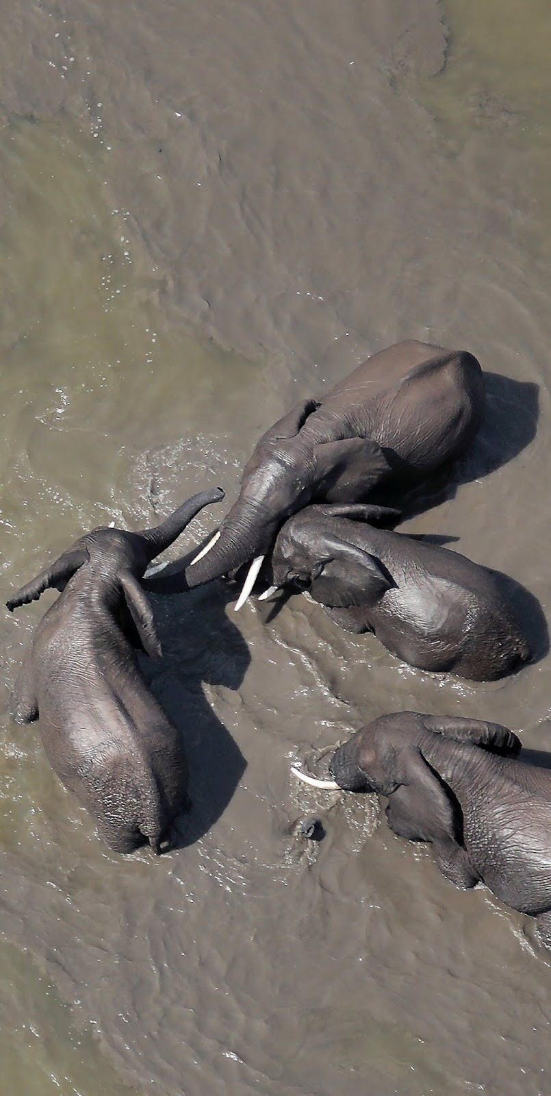 Aerial shot of elephants.