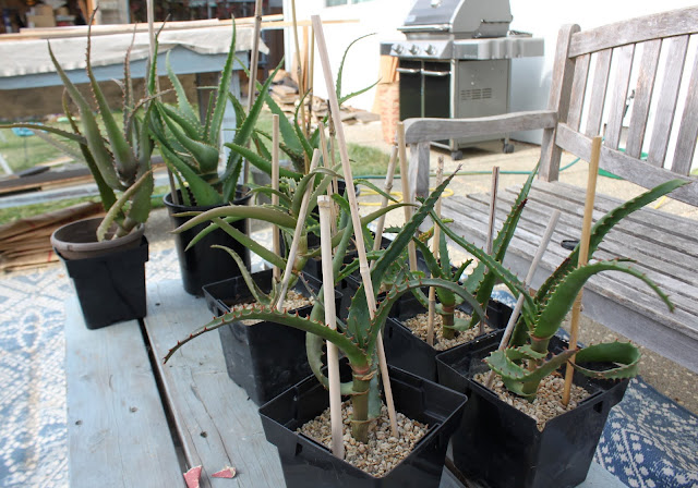 Aloe cuttings