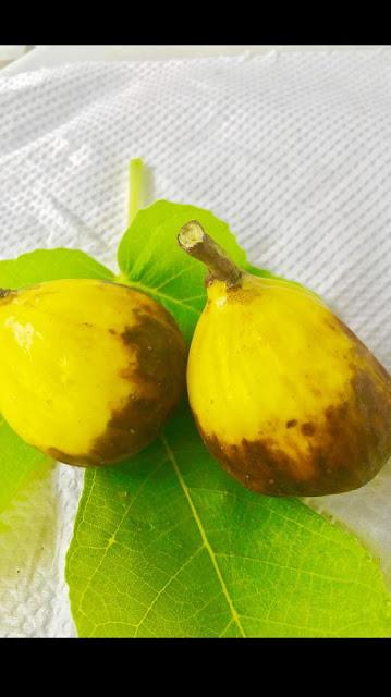 GEGANTA Figs