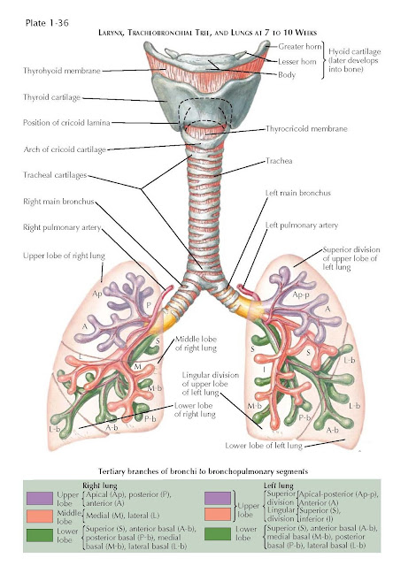 LARYNX, TRACHEOBRONCHIAL TREE, AND LUNGS AT 7 TO 10 WEEKS