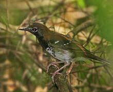 Dalam bahasa Inggris dikenal dengan nama  Mengenal Burung Anis Buru