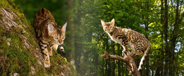 Although at first glance reminiscent of a tiger and leopard, the Bengal cat actually has cute and adorable behavior. They are like most other cats who are easily distracted by objects that move repeatedly.  But it is different when he is photographed in the middle of nature like this. Seen from afar, it was as if they were looking for another animal to prey on!