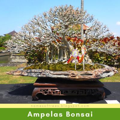 Ampelas Bonsai