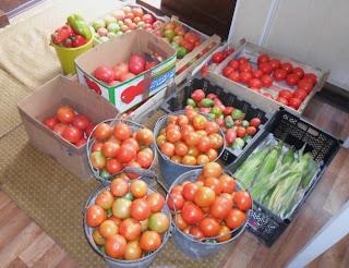 Рассадные помидоры уже закончили плодоношение, а безрассадные только начинают плодоносить