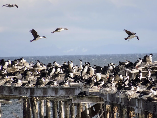Patagonia Birds: Cormorants flying above the old pier in Punta Arenas Chile