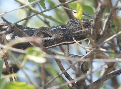 Common Chameleon (Chamaeleo chamaeleon)