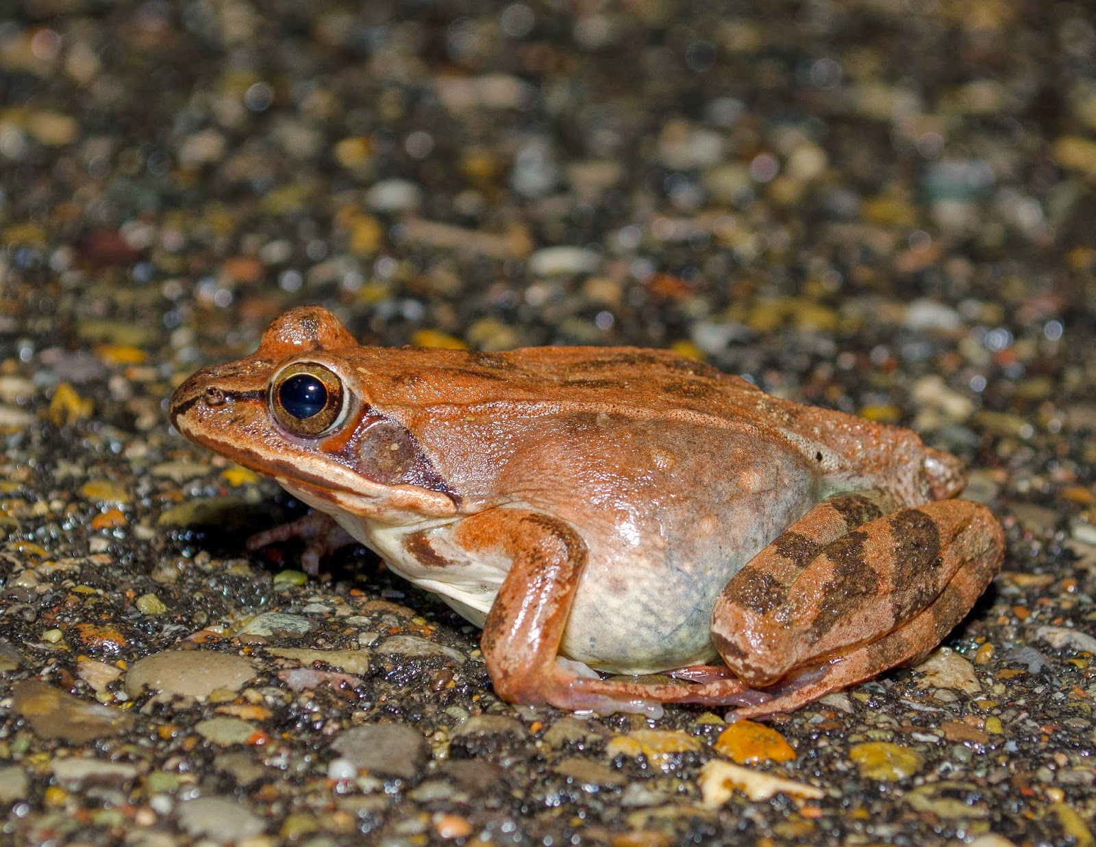 Wood Frog, Lithobates sylvaticus