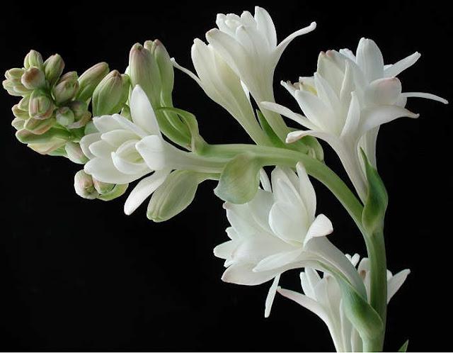 mitos bunga sedap malam