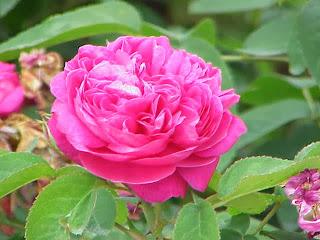 Aceite de Rosa