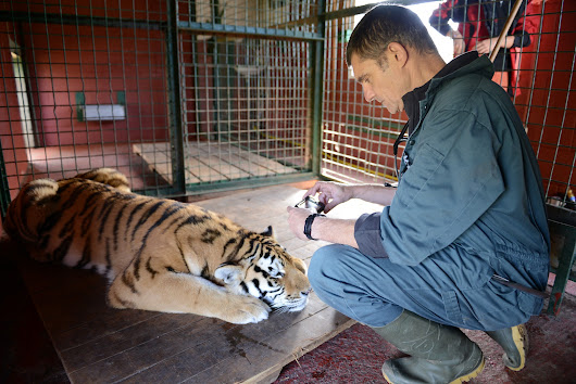 How to move Amur tigers...