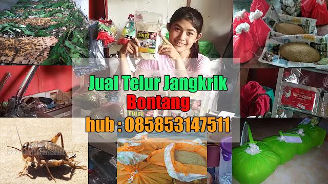 Jual Telur Jangkrik Kota Bontang Hubungi 085853147511