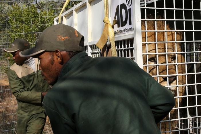 Leão libertado na África do Sul