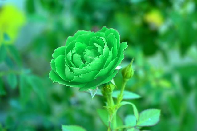 hoa hồng xanh lá đẹp