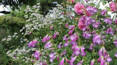 Penstemon, coloridas flores en borduras y jardinería de bajo mantenimiento