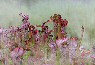 Fluetrompet, Sarracenia purpurea