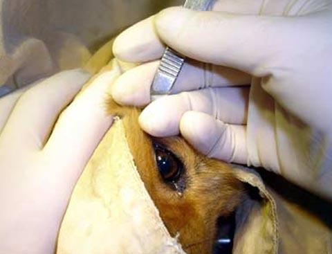 Hàn Quốc phẫu thuật thẩm mỹ cho cả chó