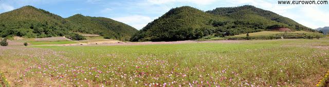 Campo de flores cosmos en Corea del Sur