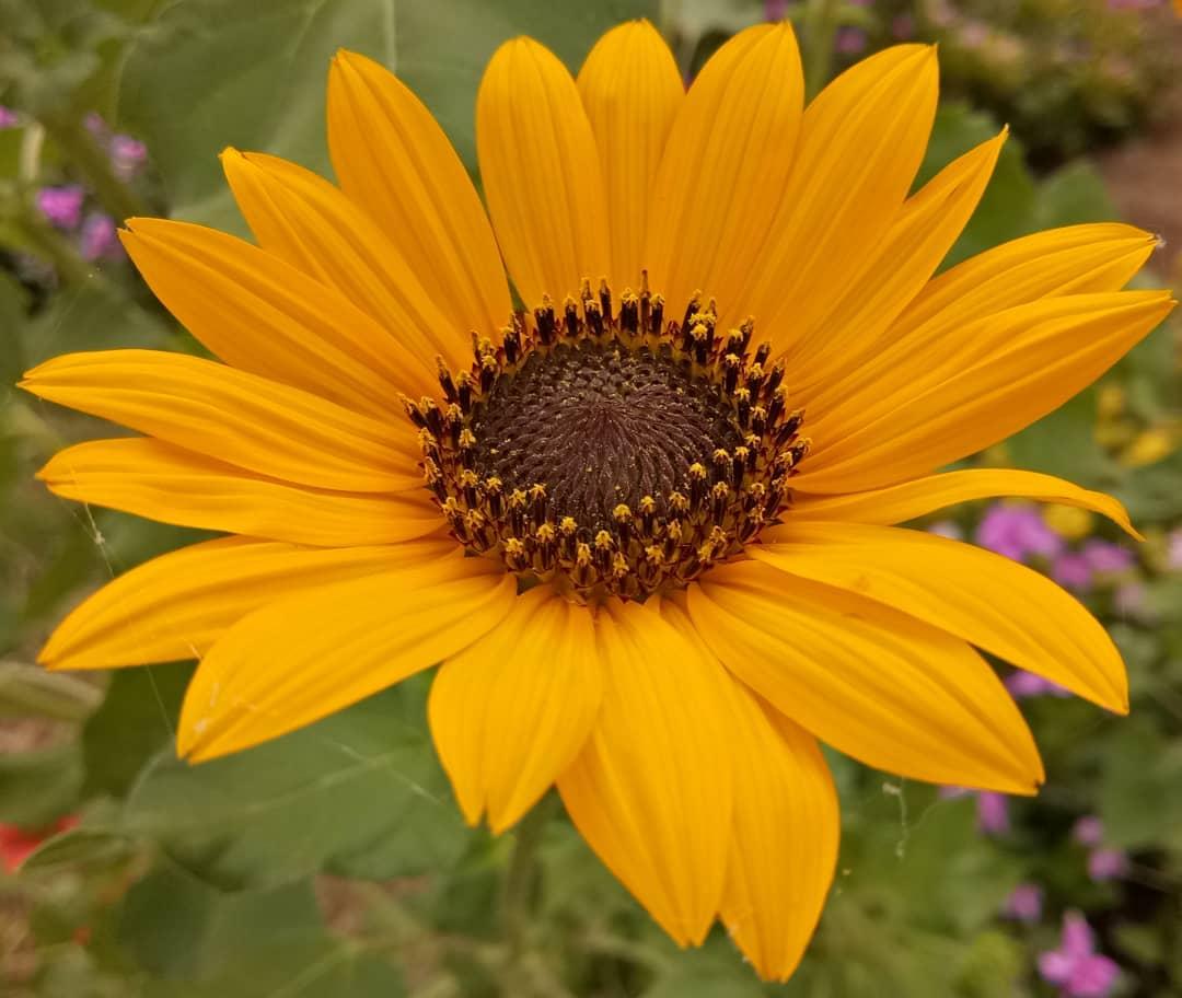 sunflower, Sunflower images, flower, flower images