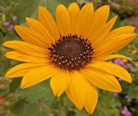 Sunflower : A flower blooms like a sun