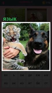 собака с языком и тигренок на руках так же показывает язык