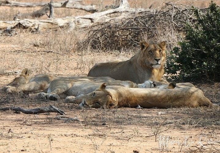 León macho joven en Kruger
