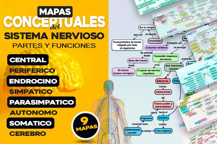 Mapas conceptuales del sistema nervioso con todas sus partes y funciones, con imagenes