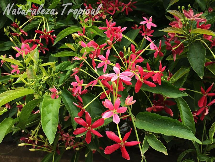 Vista de la floración típica de la planta trepadora Piscuala, Combretum indicum