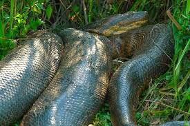 Vídeo com as maiores cobras já vistas pelo homem