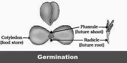 Germination - Chapter 8 : How do Organisms Reproduce? | CBSE Class 10th Science