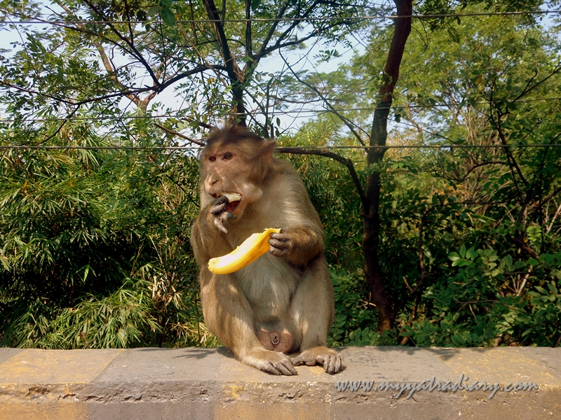 Monkey eating bananas on the Mumbai-Pune Expressway