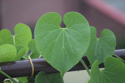 Gambar tanaman brotowali untuk kesehatan