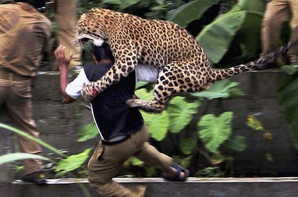 scared leopard claws at man's head