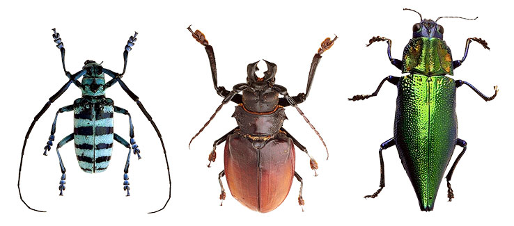 Tree boring insects include beetles weevils and clearwings