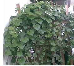 gambar pohon binahong
