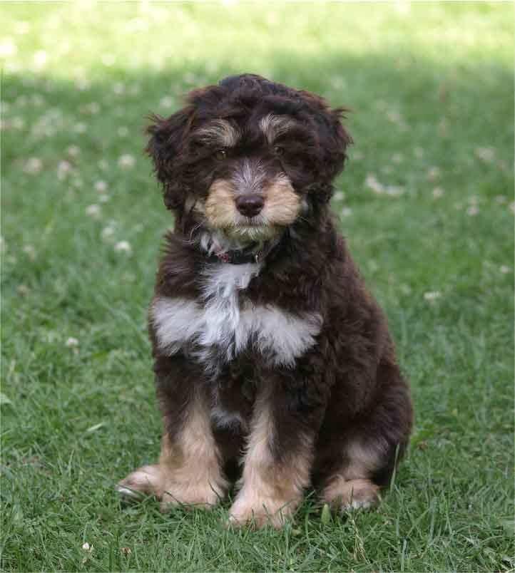 Aussiedoodle, caniche, berger australien, race de chien, les animaux de la compagnie, chien de compagnie, races de chiens, chiot, aussies, australian shepherd, berger américain miniature, chien de chasse