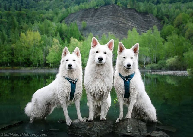 Wolf Dogs Images