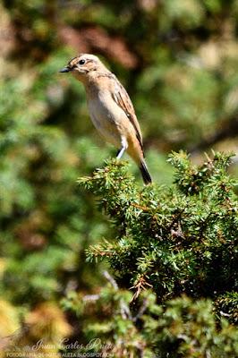 Tarabilla Norteña - Saxicola Rubetra (fotografia-de-naturaleza.blogspot.com)