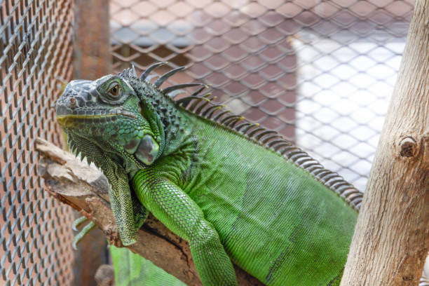Iguana Cages – A Guide for Building Them