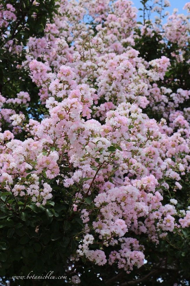 Crepe myrtle trees come in several colors, pink, white, magenta, purple