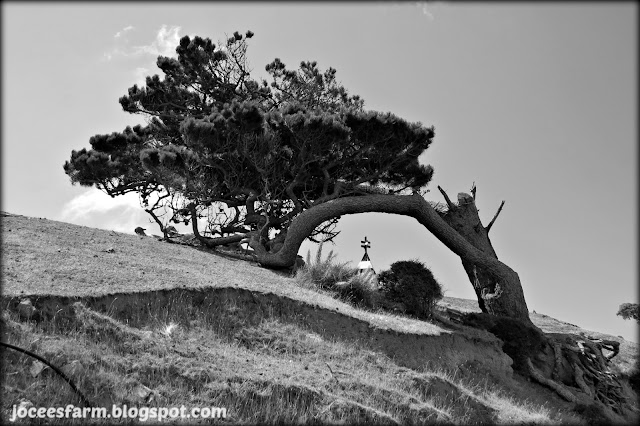 Wind Blown Tree  ||  Jocees Farm