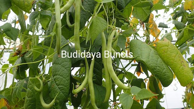 Budidaya buncis