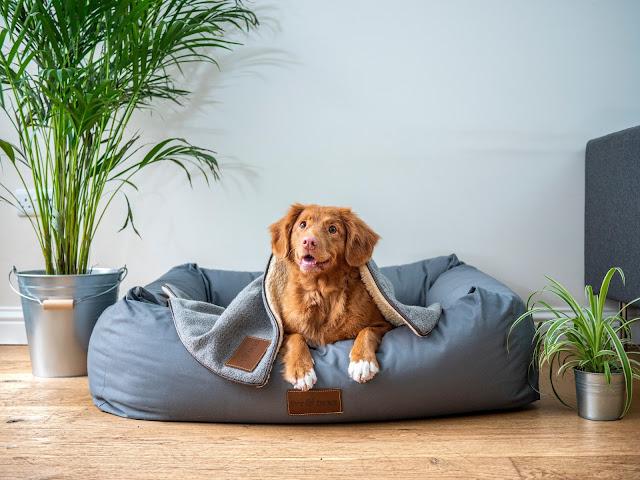 A brown dog sat in dog bed under a grey blanket