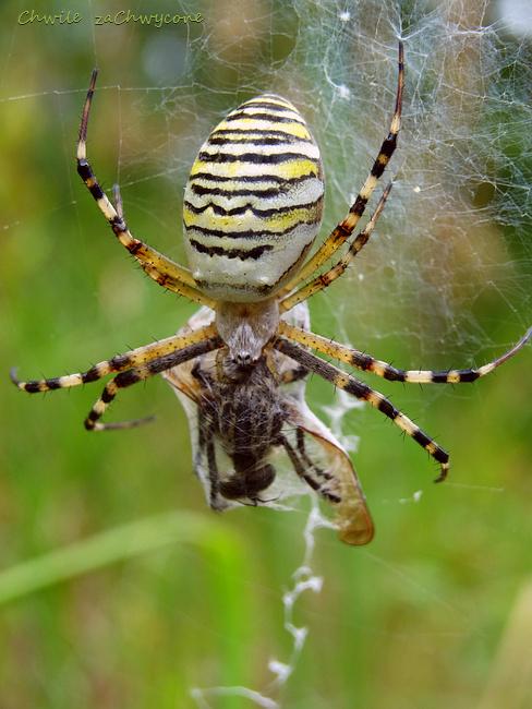 pająk tygrzyk