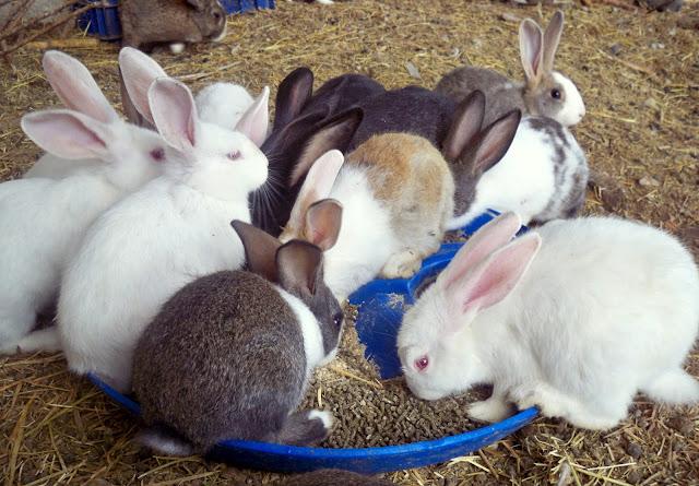 Αποτέλεσμα εικόνας για διαγωνισμός κουνελιών