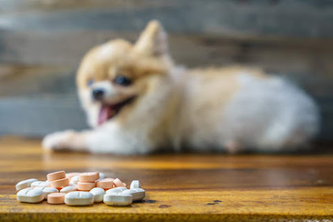 Chihuahua smiling front on medical
